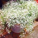 100Pcs Beautiful Aromatic Gypsophila Bonsai True Starry Plants Flower Garden Seeds
