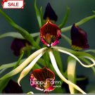 50Pcs Yellow Octopus Orchid China Rare Flower Bonsai For Home Garden Planting Flowering Seeds