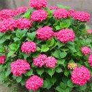 20Pcs Hydrangea Flower Plants mixed color Bonsai Fort Viburnum Hydrangea Macrophylla Bonsai Seeds
