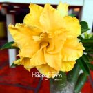 1Pcs Unique yellow Desert Rose Garden Plants Flowers Plantas Balcony Potted Adenium Seeds