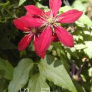 100Pcs Red Clematis flores Patio And Garden Plants Potted Flowers Clematis Climbing Seeds