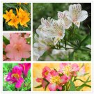 200Pcs Alstroemeria Plants mix Peruvian Lily Plantas Princess lily colorful flower Seeds