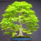 20Pcs maple tree Plantas Bonsai tree gardenling Seeds