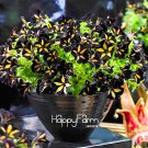 100Pcs Black Color Star Petunia Plants Garden And Patio Potted Plant Morning Glory Flowers Seeds