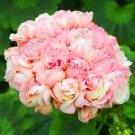 10Pcs Rare Geranium Plants Appleblossom Rosebud Pelargonium Perennial Flower Seeds