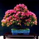 20Pcs Acacia tree Plants, (albizia julibrissin) , bonsai flower Plantas Perennial Seeds