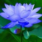 10Pcs lotus flower lotus Bonsai Aquatic plants bowl lotus water lily Plantas Seeds