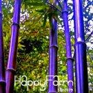 100Pcs Rare purple Timor Bamboo Plants Bambusa black bamboo Bonsai Seeds