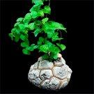 2 Pieces Dioscorea Elephantipes Plants Seeds