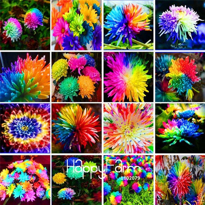 100Pieces A Bag Rainbow Chrysanthemum Flower Bonsai Seeds