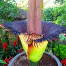 "10 Pieces Corpse flower Plants,the Titan arum is also known as the""Corpse flower"" Seeds"