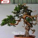 100 Pieces Cypress Tree Garden Sabina Chinensis Plantas Seeds