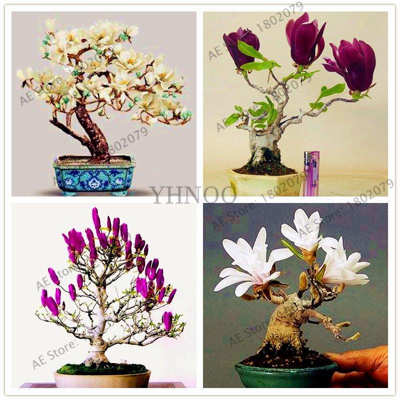30 Pieces magnolia Plants, beautiful bonsai magnolia flower Seeds