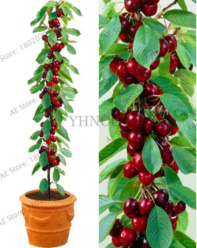 20 Pieces cherry Bonsai Australia black cherry tree Plants rare fruit tree Seeds