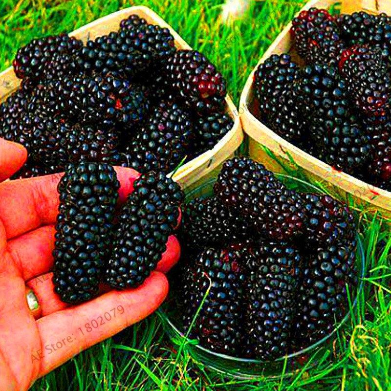 200 Pieces Blackberry garden Succulent Sweet Giant Blackberries Bonsai Seeds