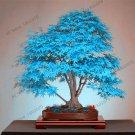 50 Pieces rare blue American maple Plantas mini bonsai Seeds
