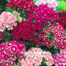 100 Pieces Bulk Sweet William Bonsai - Rare Color Amazing Beautiful DIY Home Garden Flower Seeds
