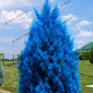 100 Pieces Blue Cypress Trees Platycladus Orientalis Oriental Arborvitae bonsai Seeds