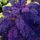 100 Pieces Organic Purple Scarlet Kale Plants Seeds