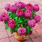 100 Pieces chrysanthemum Plantas, Rare Flower floresling garden potted plants Seeds