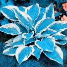 100 Pieces Hosta flores fragrant plantain lily Bonsai Perennial Flower Seeds