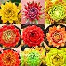 100 Pieces Rare Sempervivum Mix Succulent Plantas flowers Seeds