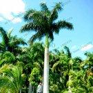5 Pieces Cuban Royal Palm flores,Exotic Plants Tree Bonsai Seeds