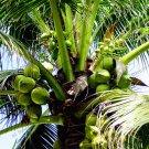 10 Pieces Coconut tree bonsai, tropical High Nutrition Juicy Fruit Seeds