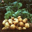 100pcs Giant Purple Potato plants Perennial Bonsai Tree Anti wrinkle V
