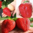 Giant Japan Strawberry bonsais, 100Pcs Giant Red Strawberry Organic bo