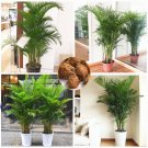 5 Pcs Chrysalidocarpus Lutescens plant Home Decoration Areca Palm plan