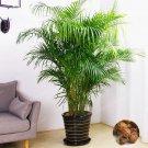5 Pcs/Bag Chrysalidocarpus Lutescens Bonsai DIY Home Garden Plants Ind