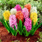 100pcs/bag Hyacinthus Orientalis plant Perennial rare Hyacinth Potted