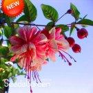 New Arrival!Multicolor Pink Double Petals Fuchsia Bonsai Potted Flower