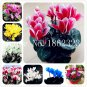 100 Pcs Cyclamen Flower bonsai, Indoor Potted Plants, Perennial Flower