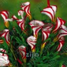 Free Shipping 200pcs Oxalis versicolor Flowers Bonsai Flowers, rare in