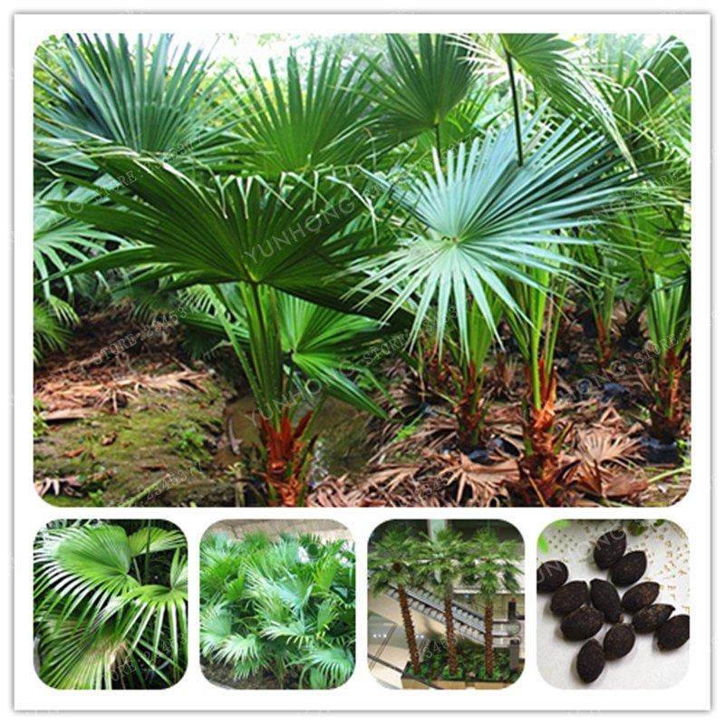 Ornamental Plant Livistona Chinensis Bonsai 5 Pcs Bonsai DIY 'Little F
