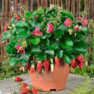 300pcs Four Seasons potted strawberry bonsai perennial results balcony