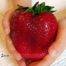 100pcs Rarest Heirloom Super Giant Japan Red Strawberry Organic plants