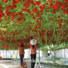 New Fresh 50 Pcs ITALIAN TREE TOMATO bonsai 'Trip L Crop' garden *Comb