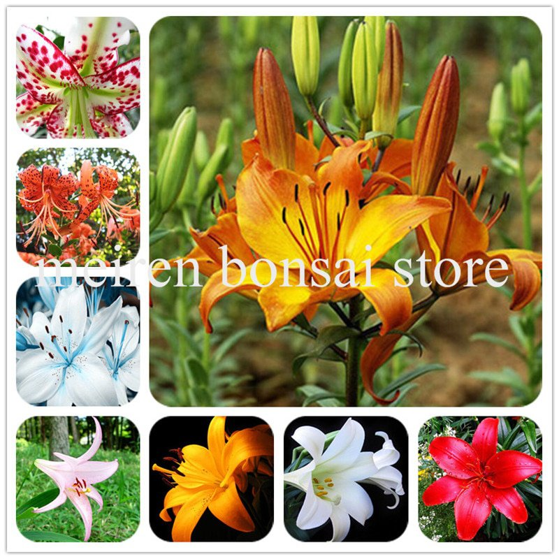 100 Pcs Specials Blue Heart Lily Plant Potted Bonsai Plant Lily Flower
