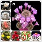 100 pcs Bonsai cactus Rebutia variety flowering color cacti rare cactu