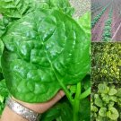 100 PCS / bag Heirloom Green Malabar Spinach Vegetable Bonsai Potted S