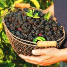 High Quality Raspberry Seed 200pcs Super Big Black Mulberry Fruit Seed