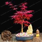 Potted Plant Bonsai 20 pcs 100% Real Acer Palmatum 'Atropurpureum' Red