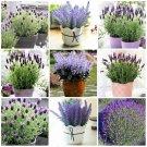 200pcs Lavender Bonsai herb plants garden balcony pot Four Seasons flo