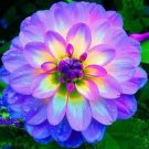 dahlia,dahlia flower vary Colors Dahlias bonsais For DIY Home Garden f