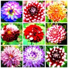 Rare Two Color Dahlia Flower Bonsai  Mexico's National Flower Garden P