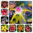 Bonsai 300 Pcs Stapelia Pulchella plants Succulents Orchids Lithops Ra