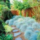200 pcs Blue Fescue Grass bonsais   (Festuca glauca) perennial hardy o